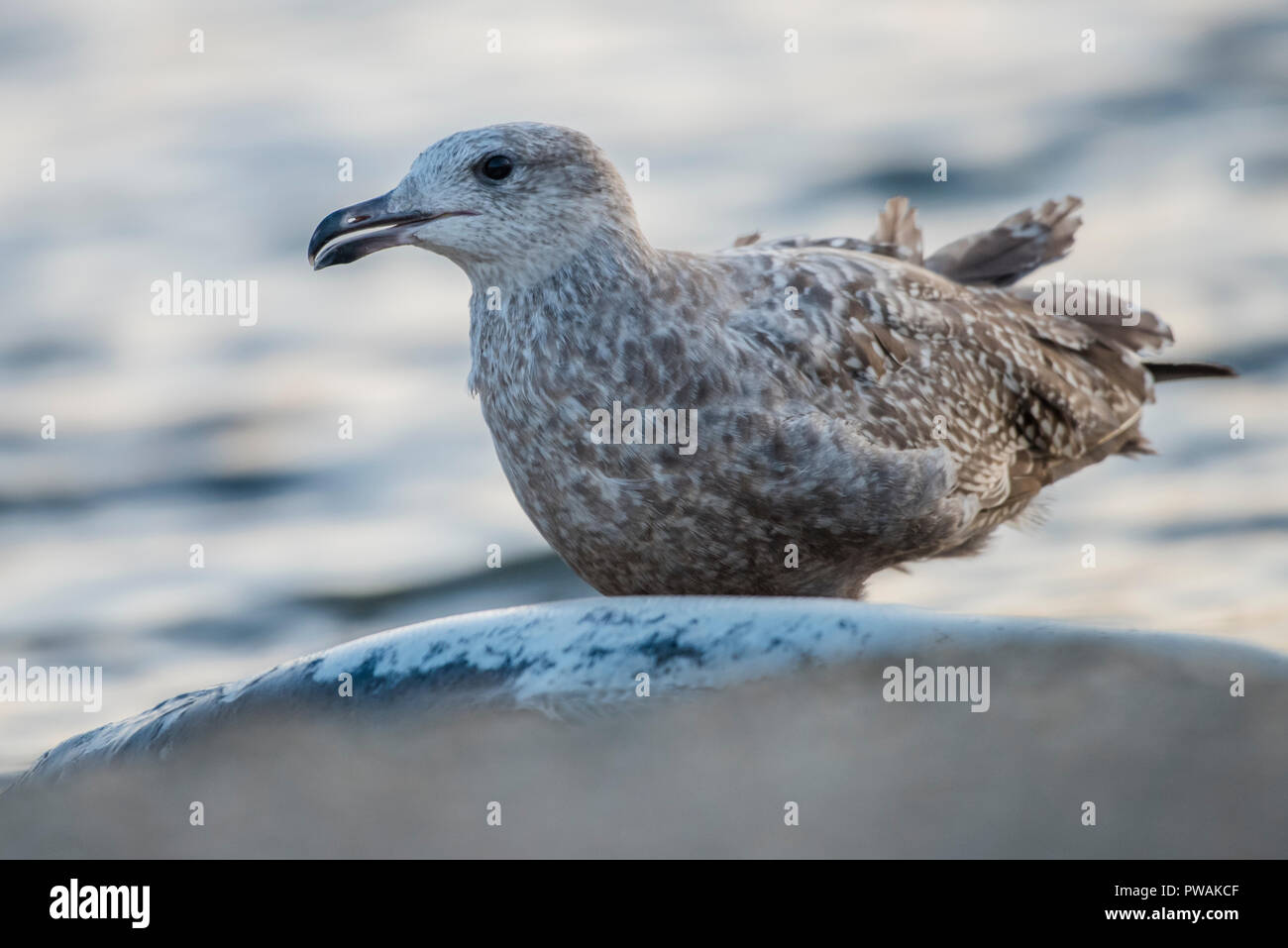A juvenile herring gull from Lakeshore state park in Milwaukee, Wisconsin.  It is scavenging a dead salmon that has washed up on the beach. Stock Photo