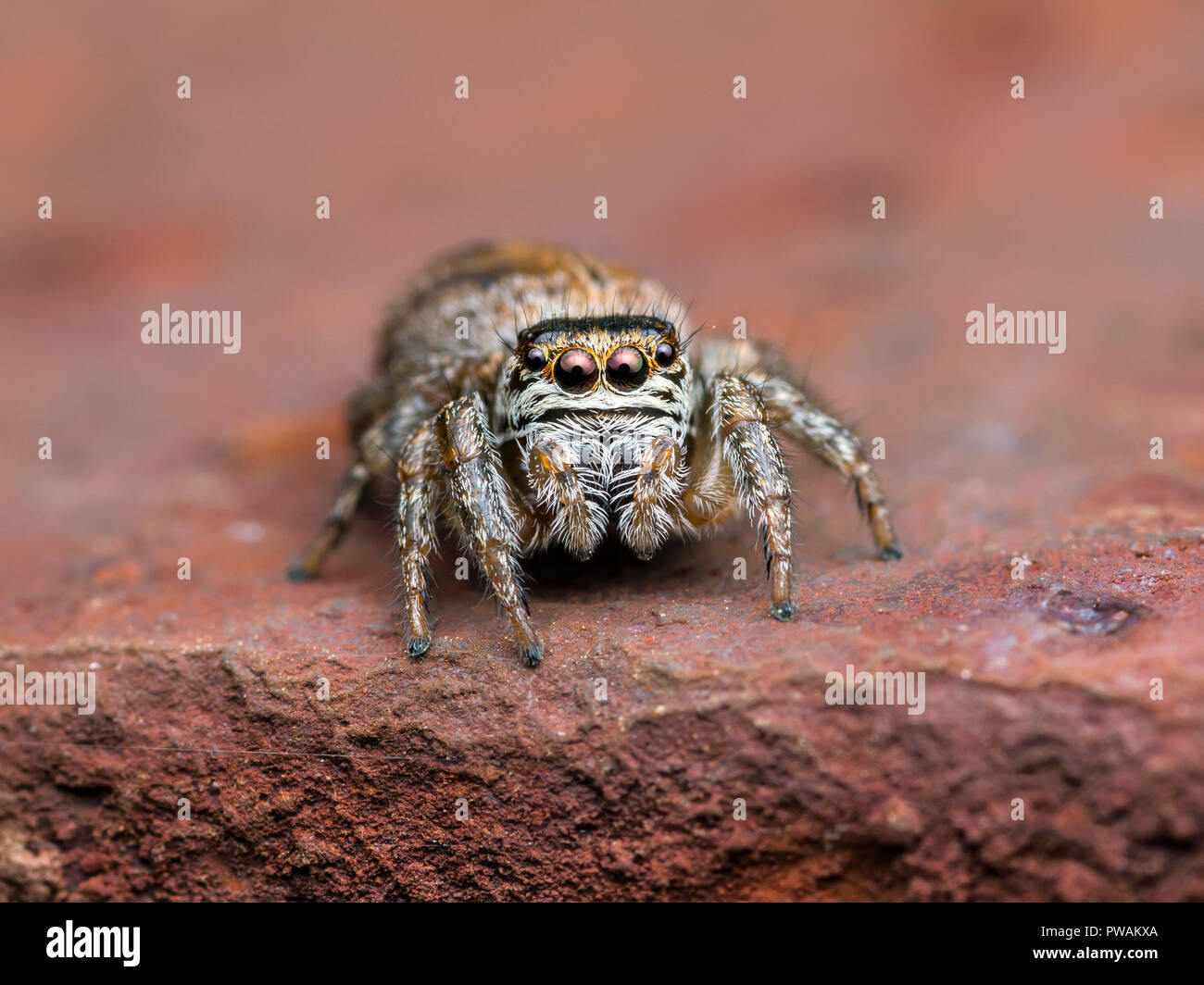 Jumping Spider Arachnid Insect Macro on Brown Background - Stock Image
