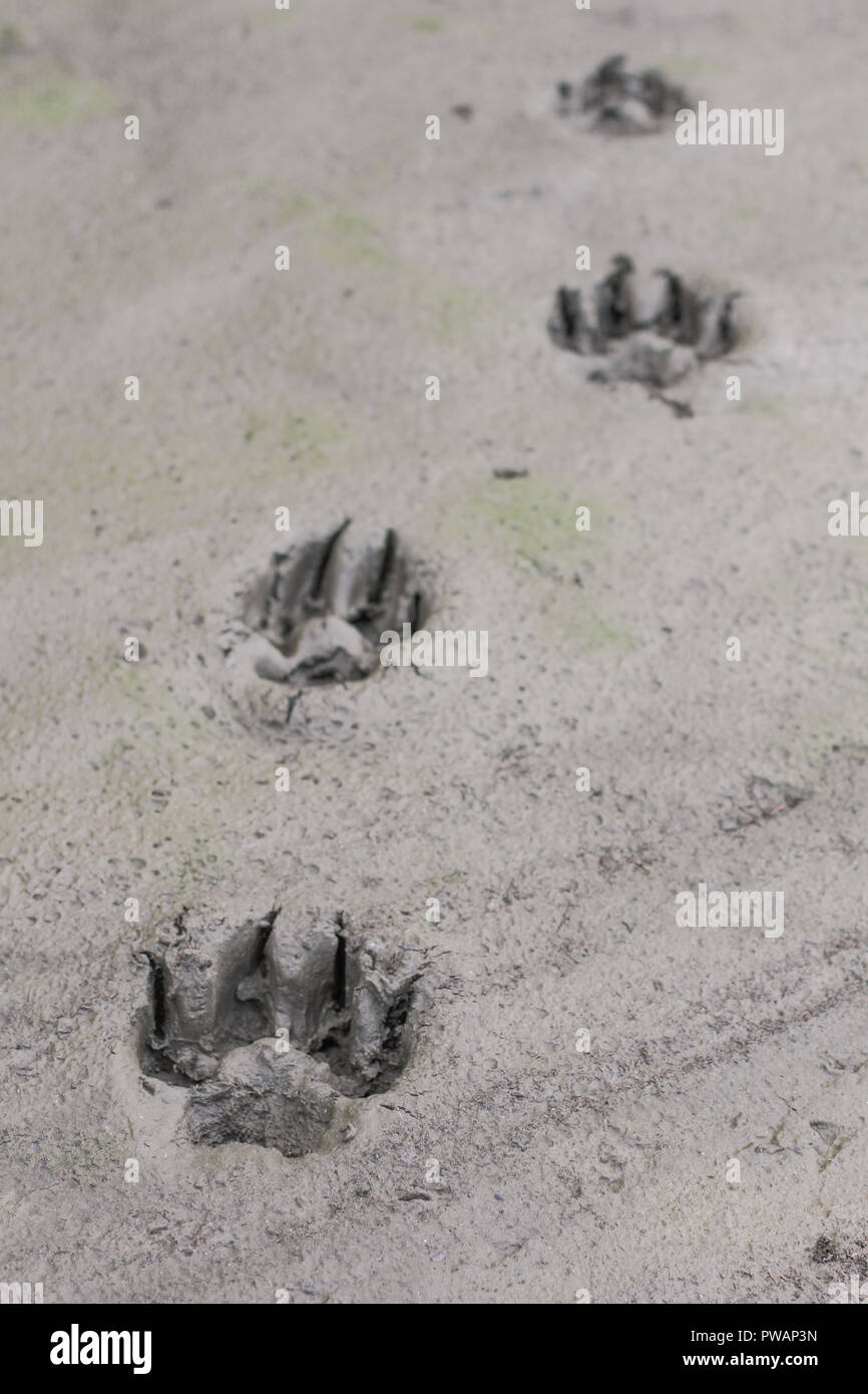 Wolf Attack Stock Photos Wolf Attack Stock Images Alamy