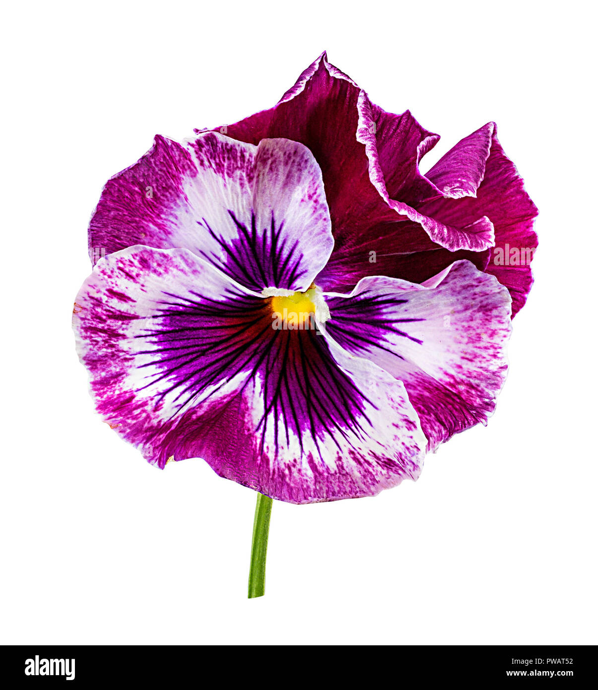 Pansy flowers isolated on white background Stock Photo