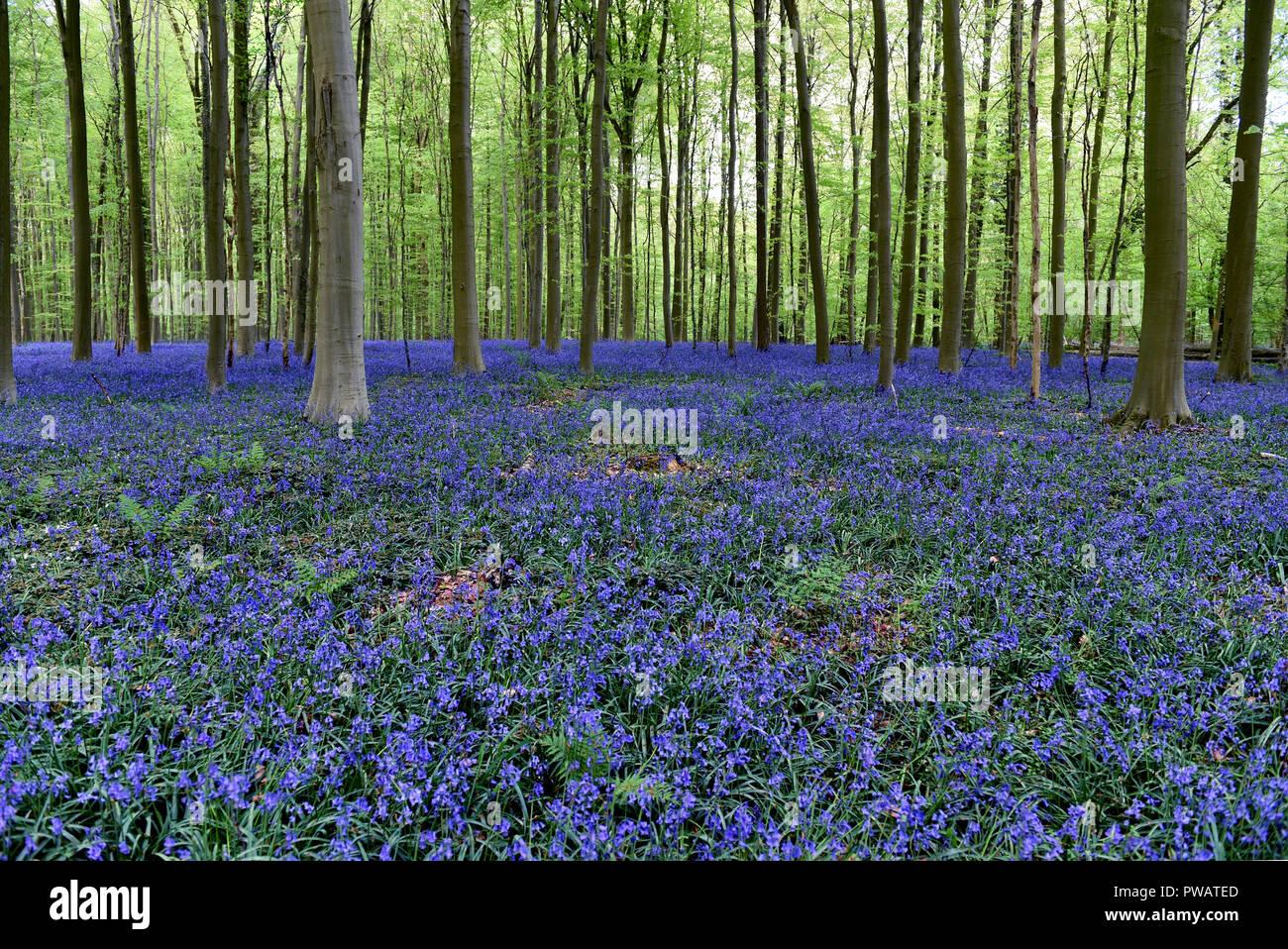 Hallerbos, the amazing bluebells wood - Stock Image