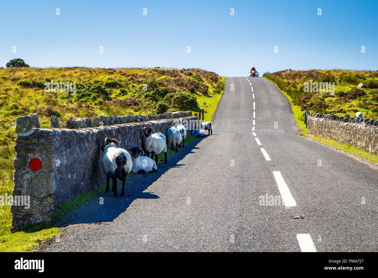 Scottish blackface sheep in Dartmoor seeking shadow during a summer heat wave - Stock Image