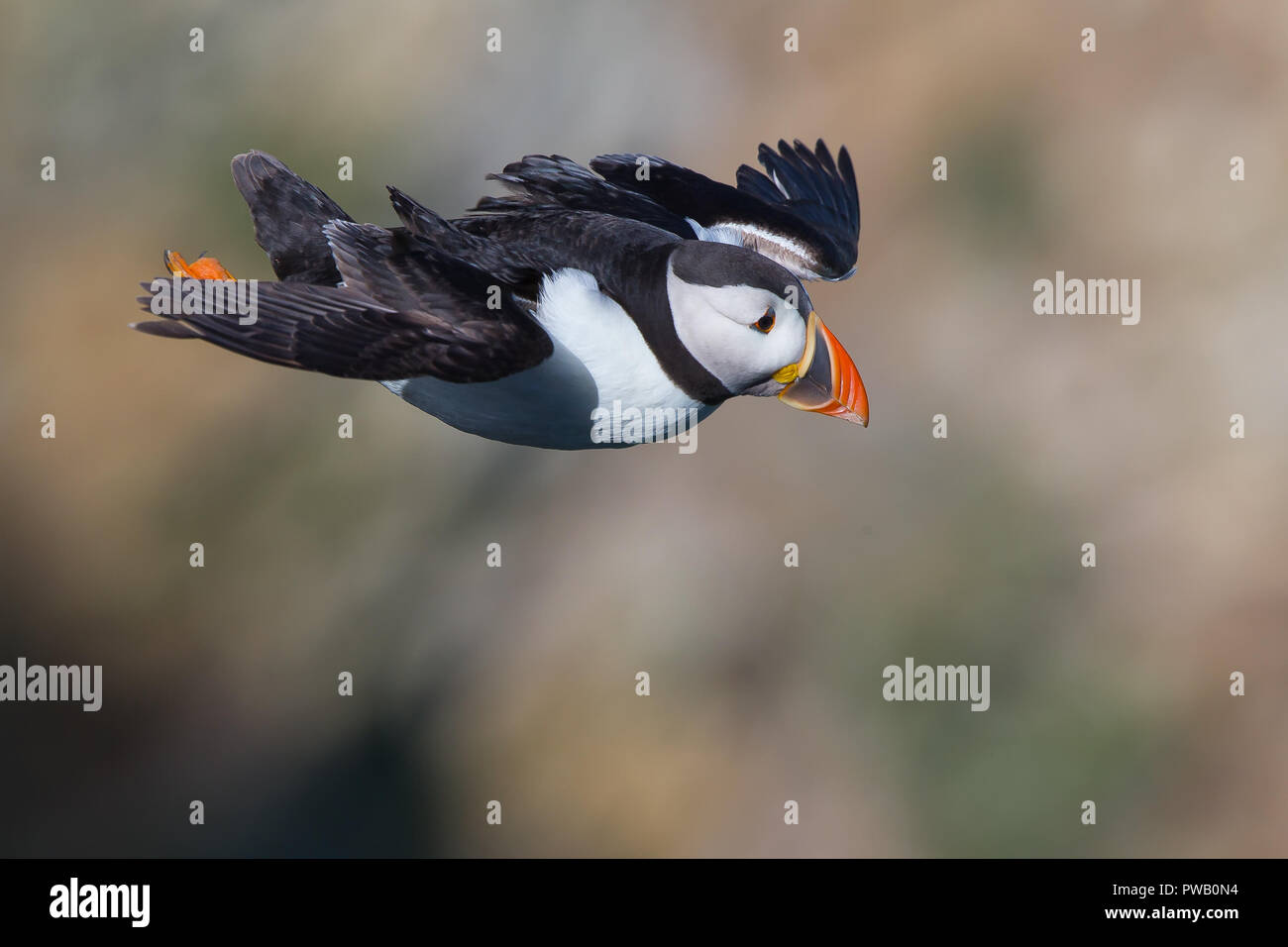 High angle, aerial, close-up side view of wild puffin seabird (Fratercula arctica) isolated hovering outdoors in breeze, soft-focus cliffs background. - Stock Image