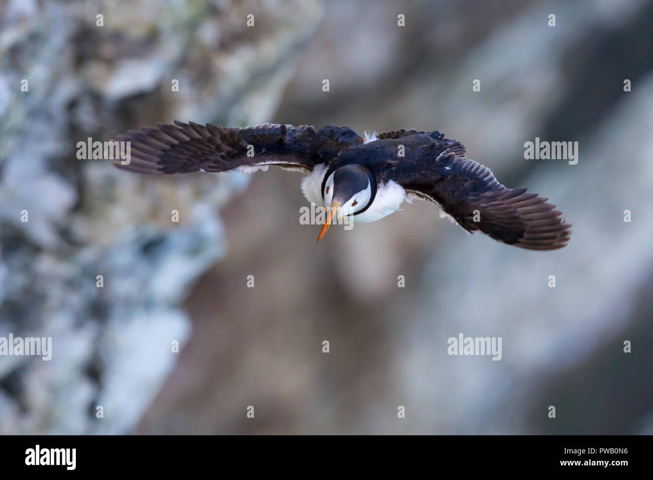 High angle, aerial close up of wild puffin seabird (Fratercula arctica) flying isolated in the breeze, soft-focus cliffs background. Bird's-eye view. - Stock Image
