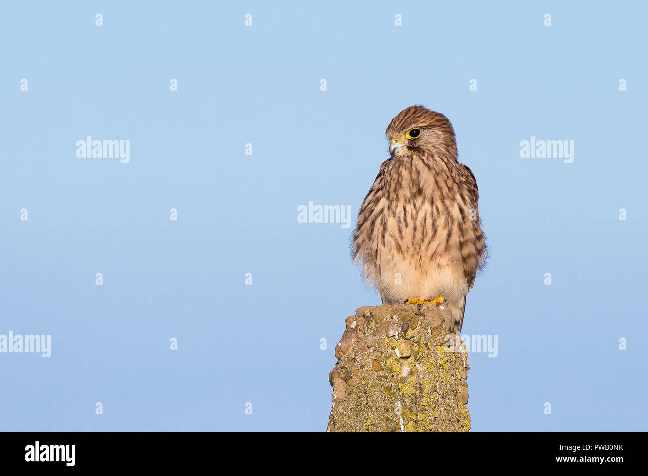 Detailed, landscape close up of a single wild kestrel (Falco tinnunculus) perched on a post, high in the air, against a blue sky background. - Stock Image