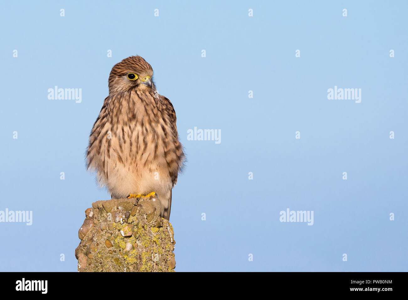 Detailed, landscape close up of isolated, wild, female kestrel (Falco tinnunculus) perched on a post, high in the air, against blue sky background. - Stock Image