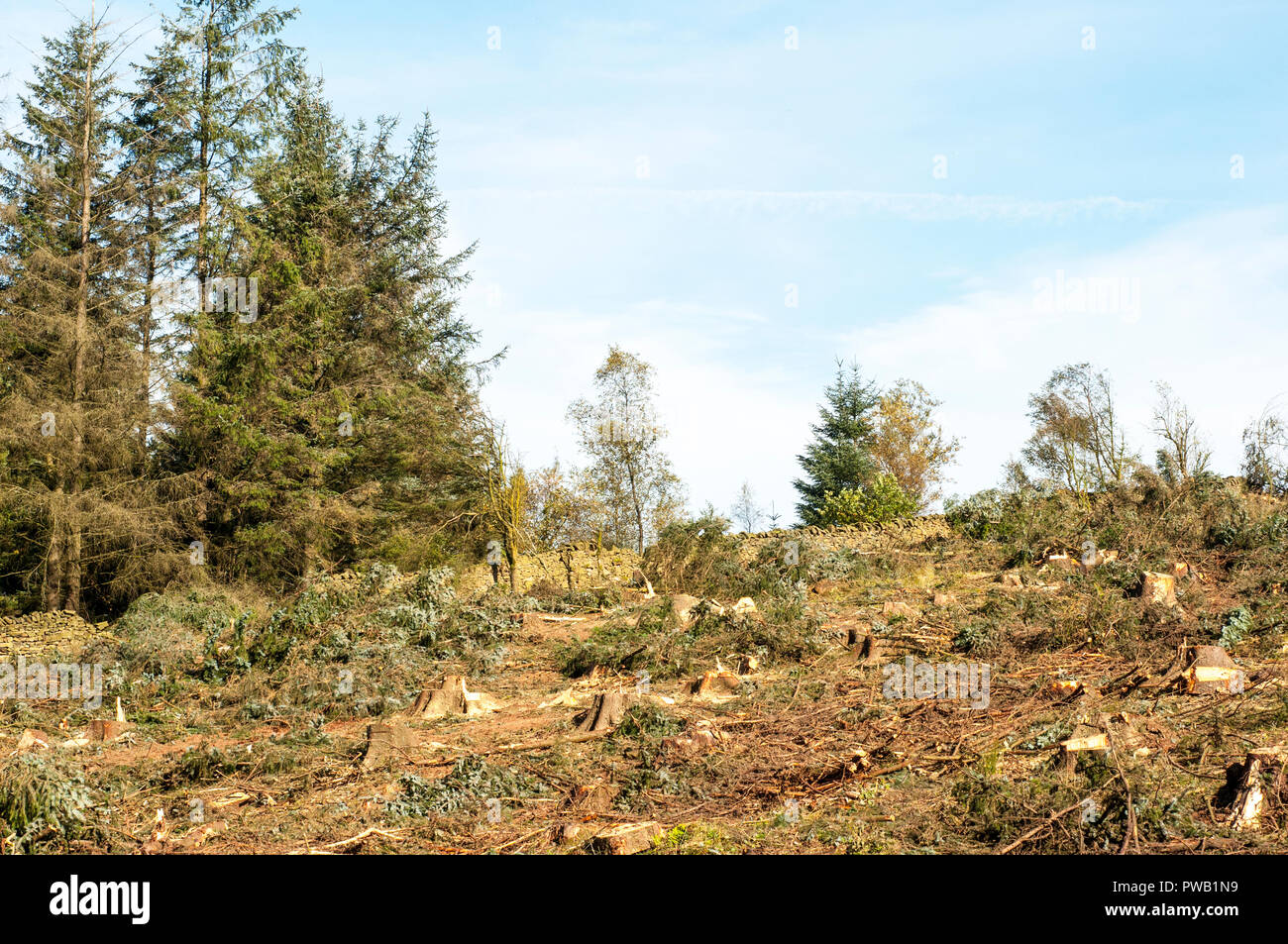 Felling of Pine Fir trees etc due to becoming unsafe through high winds over several winters. Beacon Fell Country Park Preston Lancashire England UK. - Stock Image