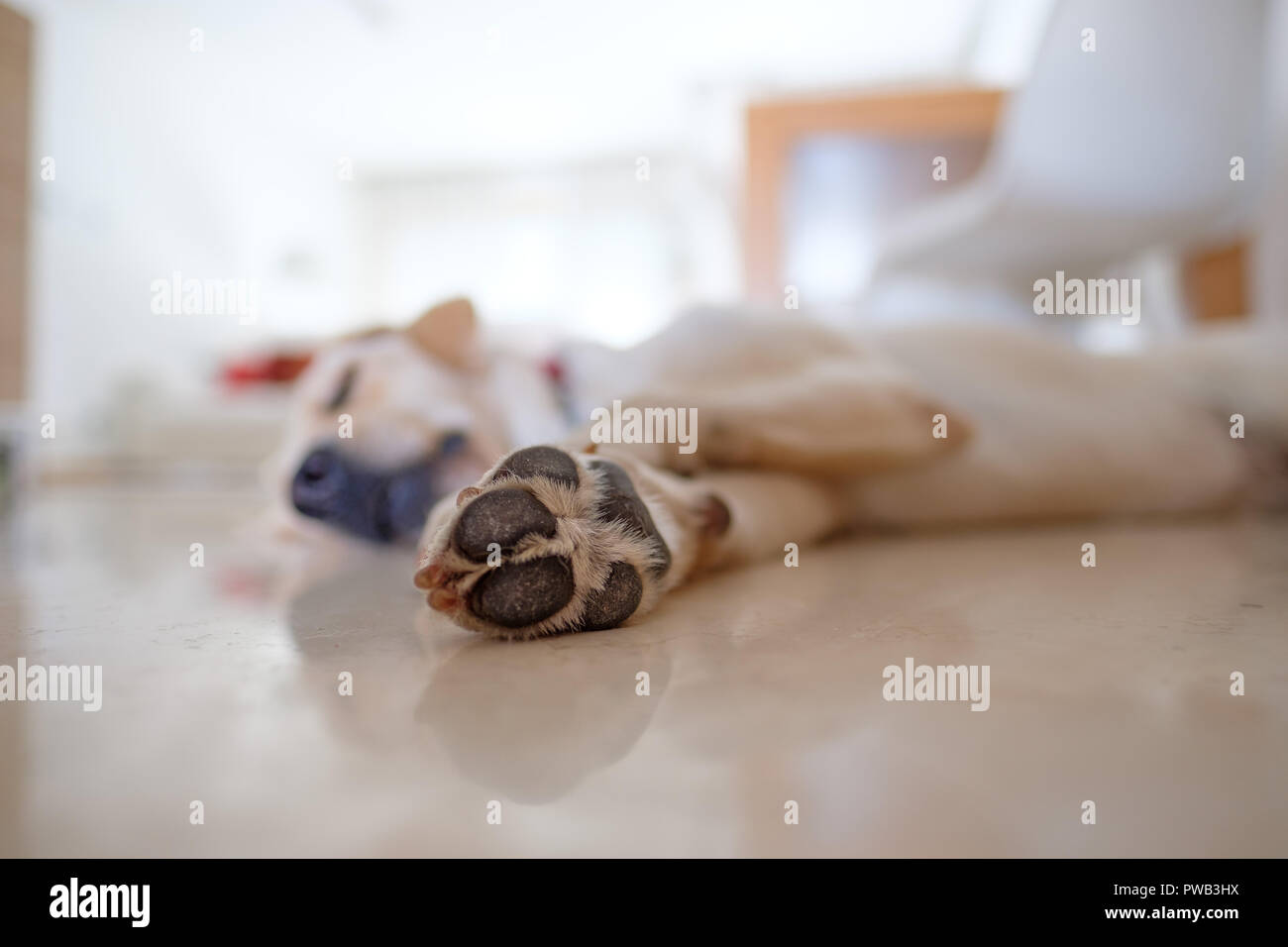 Selective focus close up photo of the paw of a yellow labrador retriever sleeping on the floor at home - Stock Image