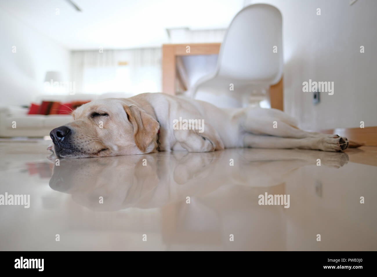 Yellow labrador retriever sleeping on the floor at home - Stock Image