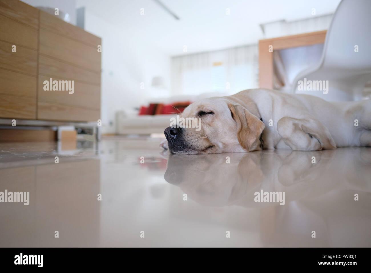 Yellow labrador retriever sleeping on the floor at home - Stock Image