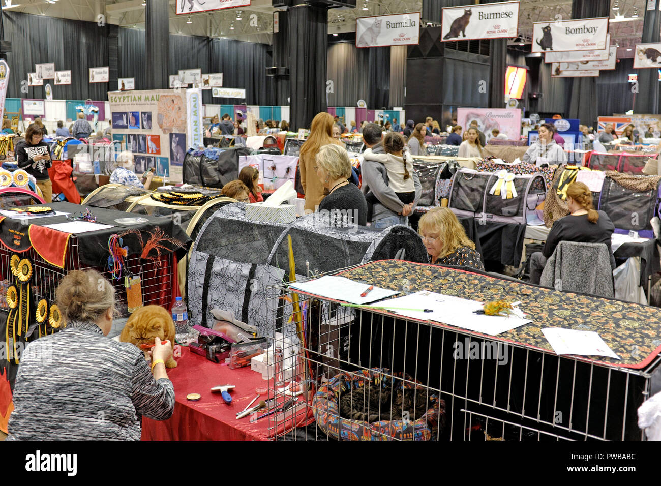 Cleveland, Ohio, USA, 14th Oct, 2018.  Participants and spectators at the 2018 Cat Fancier's Association International Cat Show create a hive of energy in the Cleveland IX Center.  Rows of cat show benching cages are organized by breed as signs hanging from the ceiling give show participants, and visitors, visual cues as to where certain breeds are being prepped for their competitions.  A cat owner feeds her cat in a benching area which is also used for grooming of her pedigreed feline.  With up to 1,000 pedigreed cats including up to 41 breeds, the competition is the largest of its kind in th - Stock Image