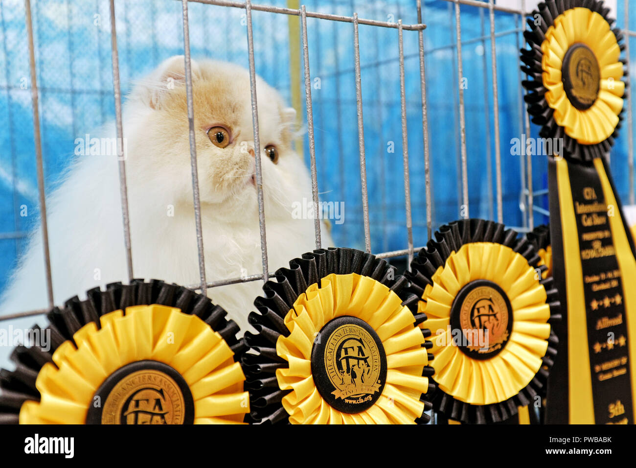 Cleveland, Ohio, USA, 14th Oct, 2018.  A pedigreed Persian cat watches out her benching cage at the 2018 CFA International Cat Show where she is surrounded by show winning ribbons.  The largest show of its type in the US, the judged pedigreed cat show at the IX Center in Cleveland, Ohio includes competitions amongst approximately 1,000 cats of varying breeds.  Credit: Mark Kanning/Alamy Live News. - Stock Image