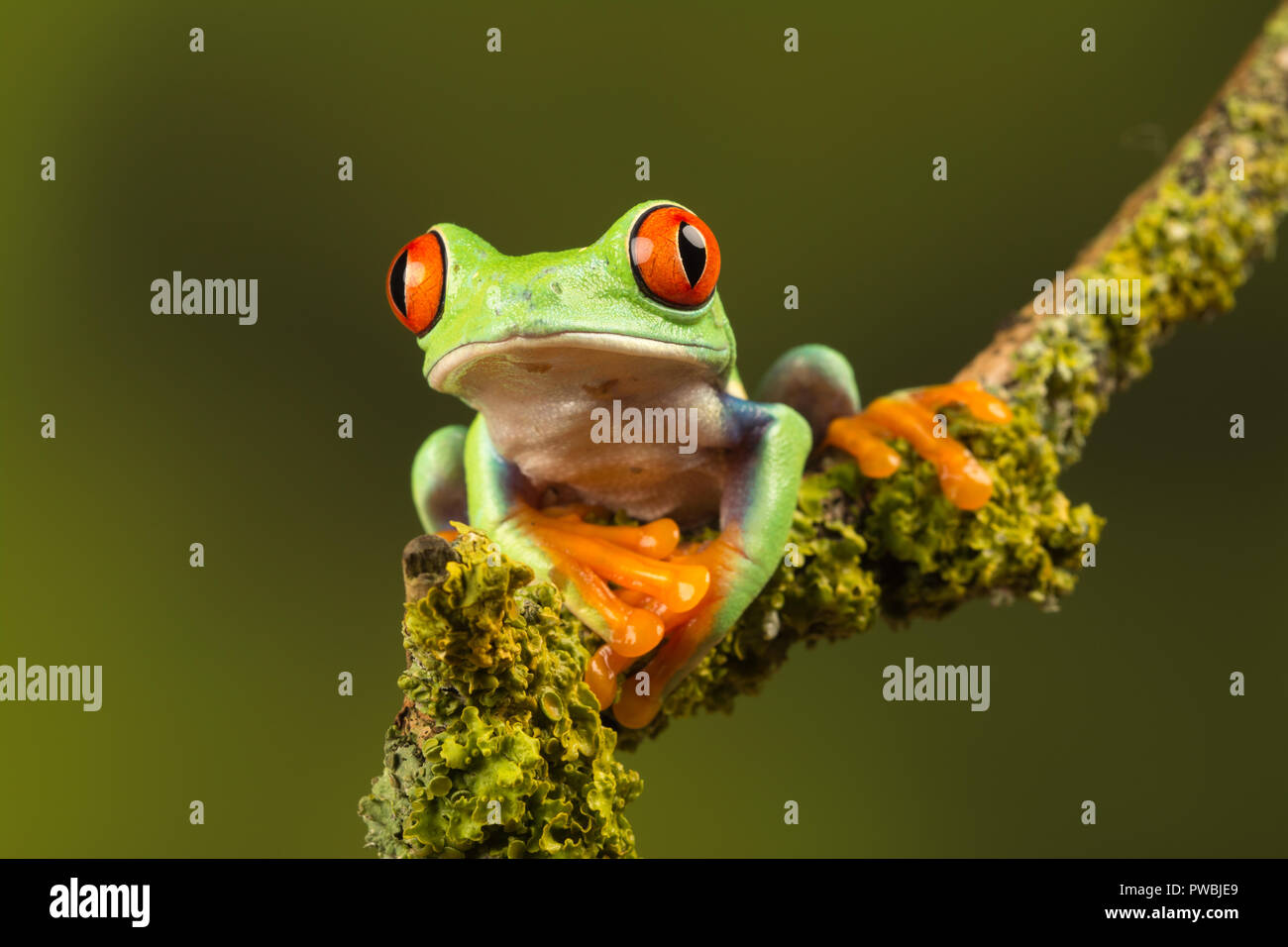 Close-up of red-eyed tree frog (Agalychnis callidryas), a colourful amphibian species, on a twig Stock Photo