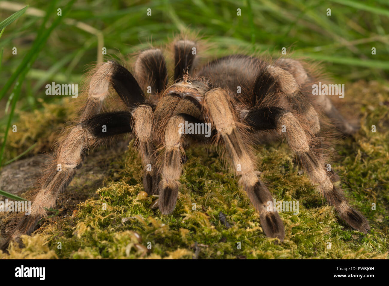 Mexican White Knee Tarantula Spider Acanthoscurria