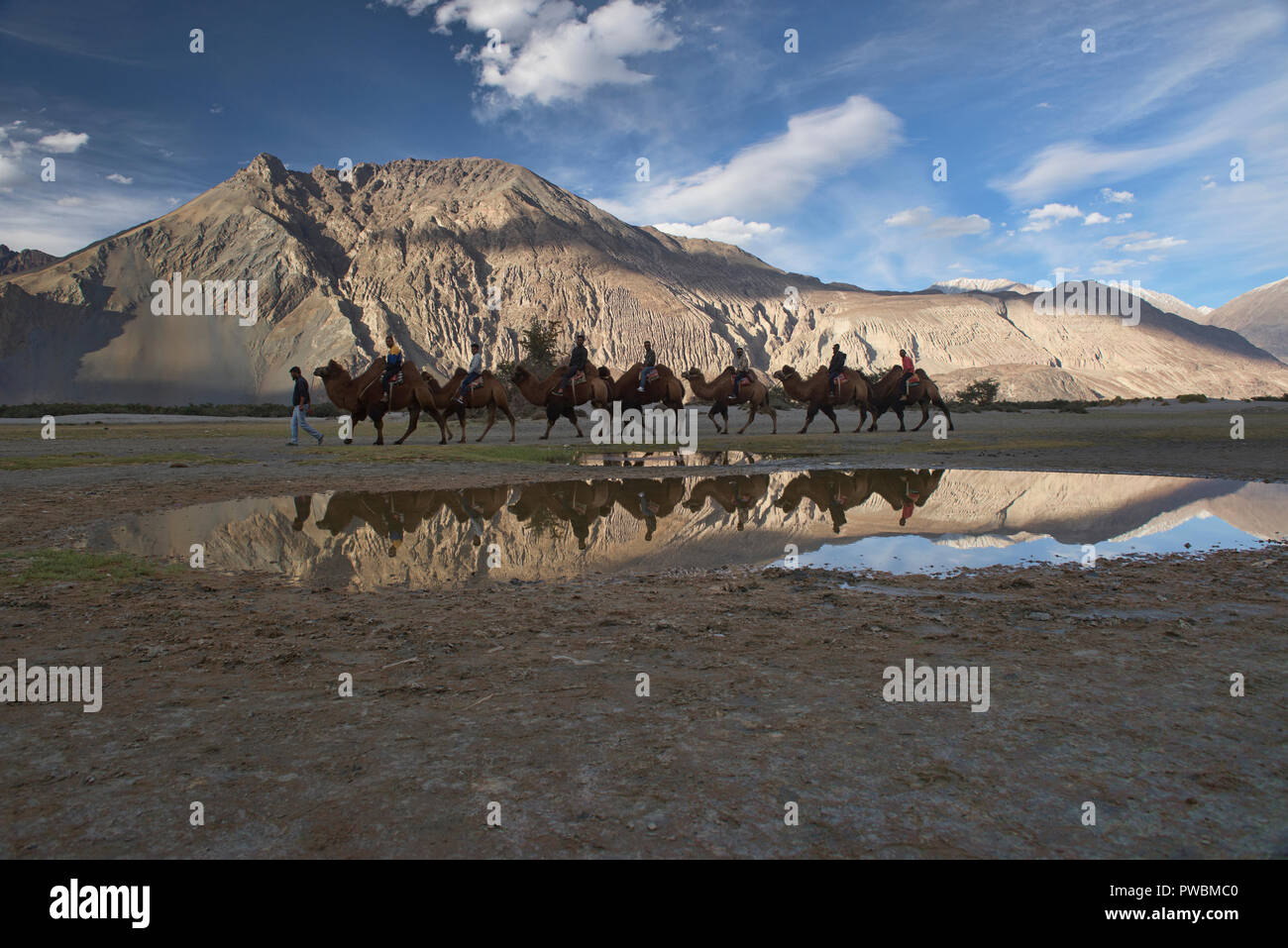Bactrian camels in the Karakoram Mountains, Hundar, Nubra Valley, Ladakh, India - Stock Image