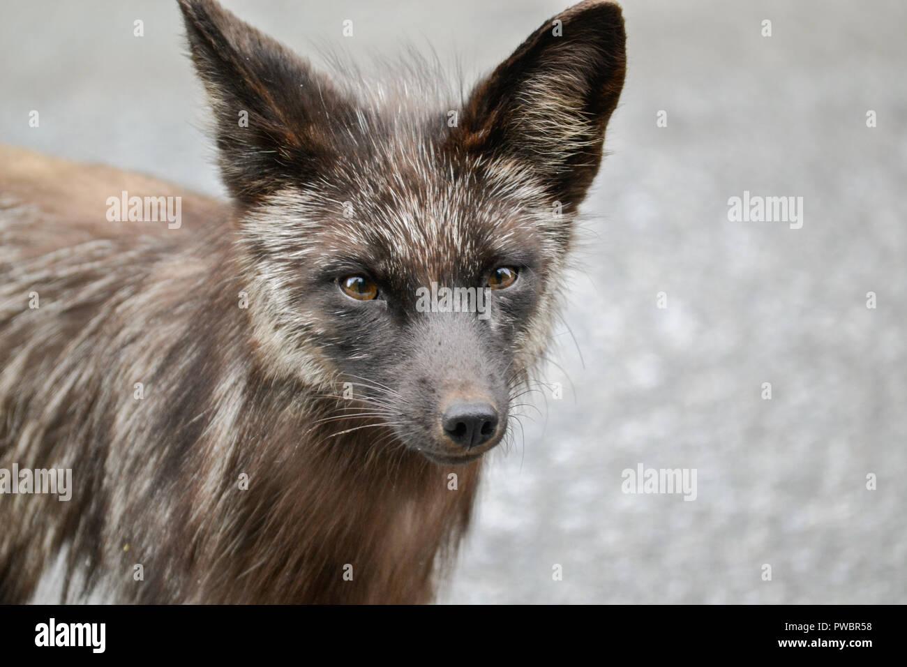Curious fox - Stock Image