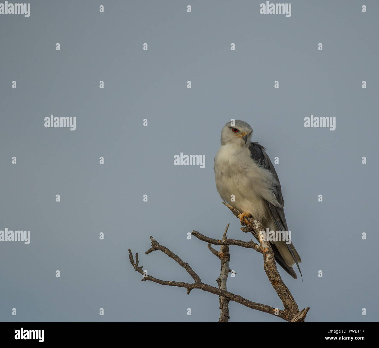 An African raptor perched on a dry branch isolated against a clear background image with copy space in landscape format - Stock Image