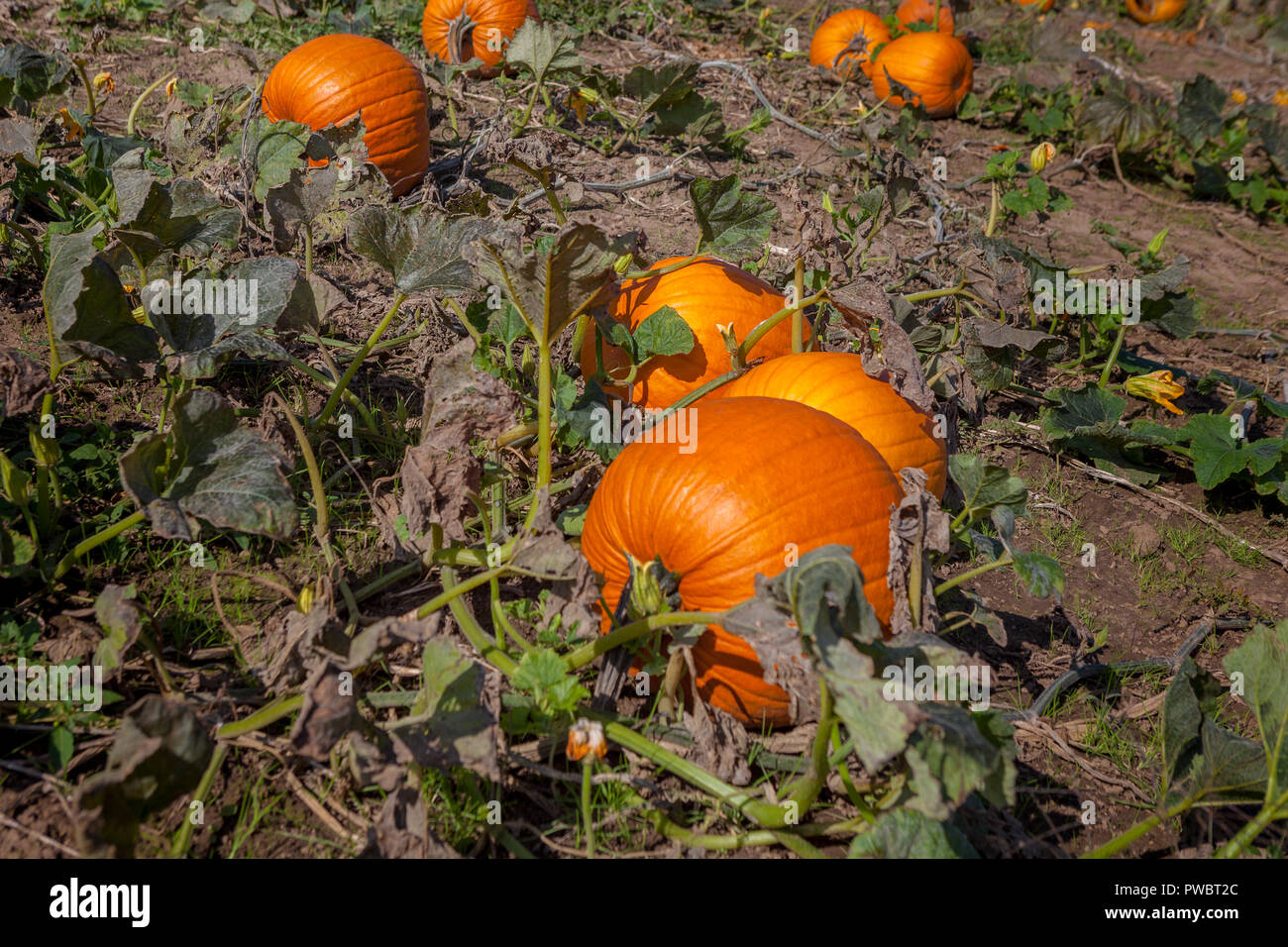 Hamilton, CANADA - October 14, 2018: orange pumpkins at outdoor pumpkin patch field at farmer market in nature Stock Photo
