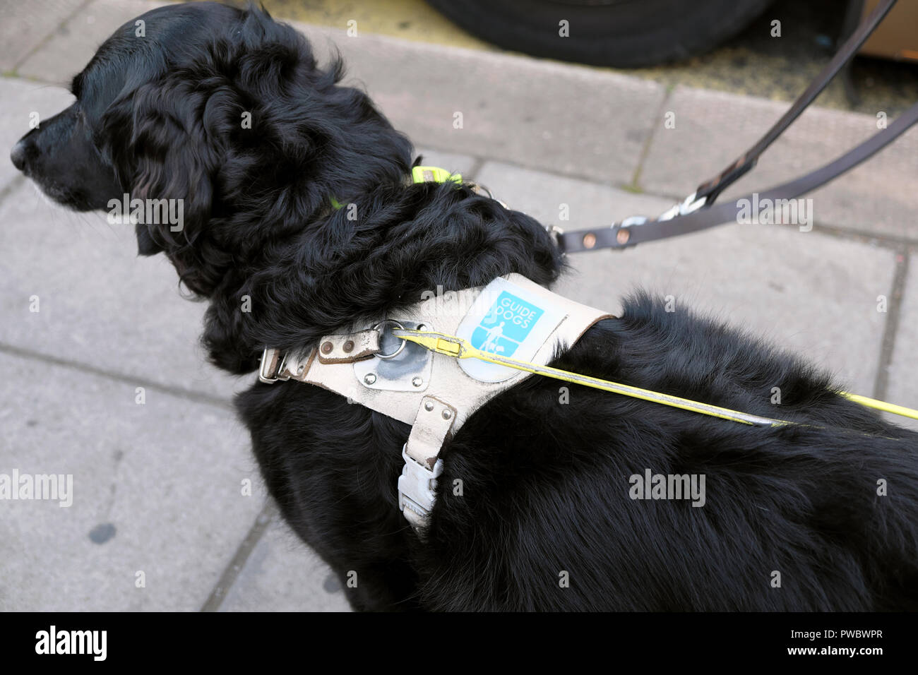 Black Guide Dog for the Blind wearing a harness waiting patiently in the street for a bus  UK  KATHY DEWITT - Stock Image