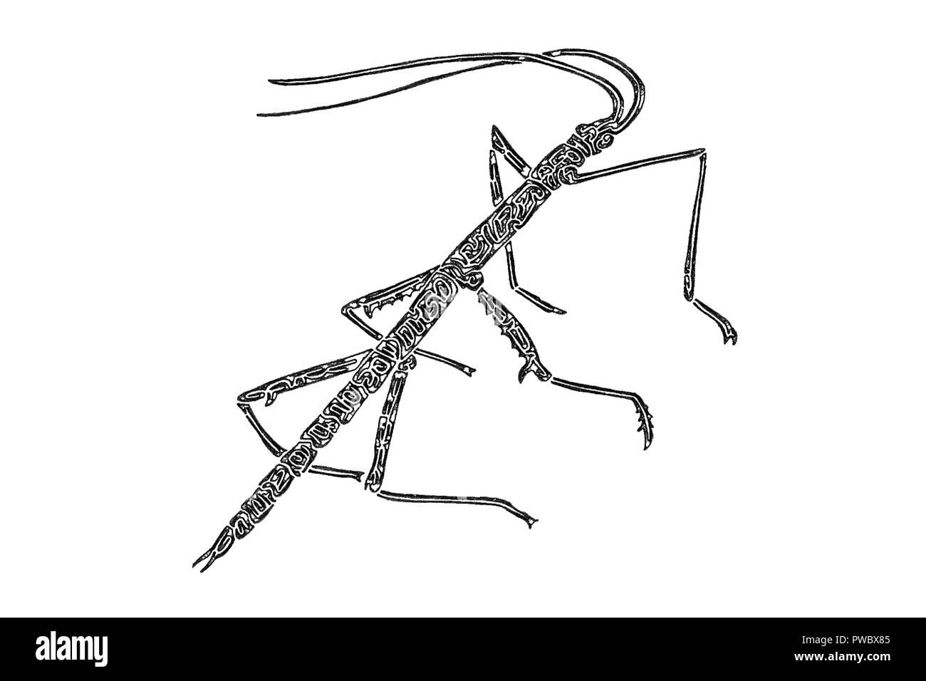 Illustration Of A Walking Stick Insect Black And White Digital