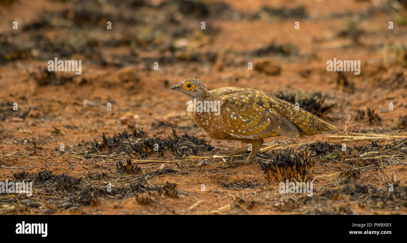 A burchell's sandgrouse skulks in a grassy patch in the African bush image with copy space in landscape format - Stock Image