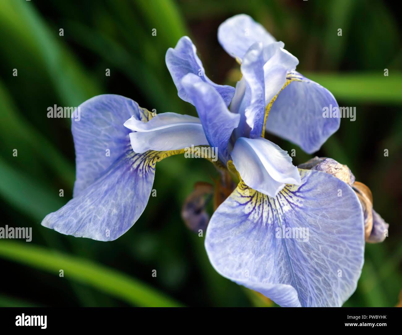 Blue Irises Iris Flower Stock Photos Blue Irises Iris Flower Stock