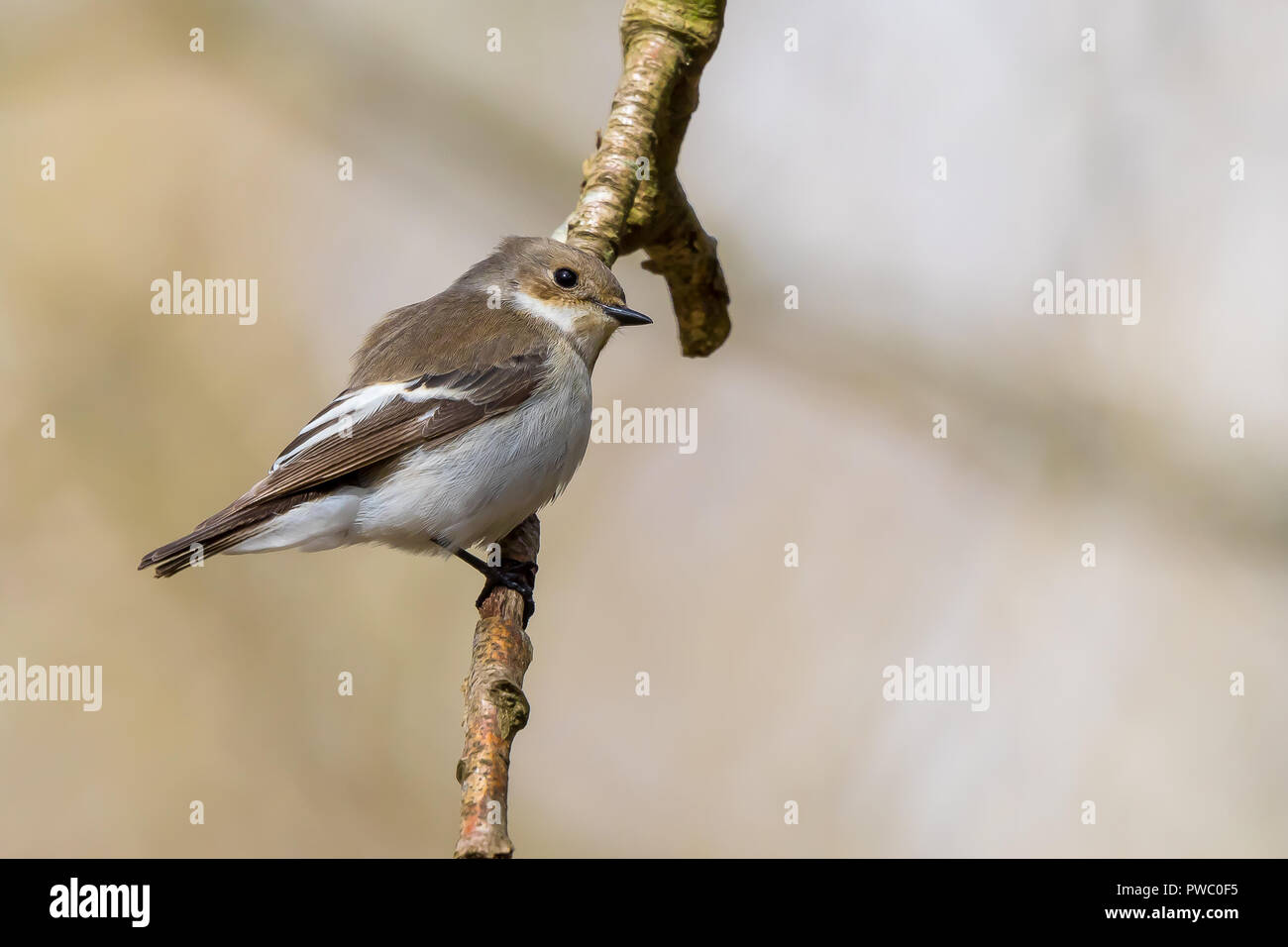 Detailed, landscape close up of a single, adult female pied flycatcher (ficedula hypoleuca) perched on a vertical twig, against soft-focus background. - Stock Image