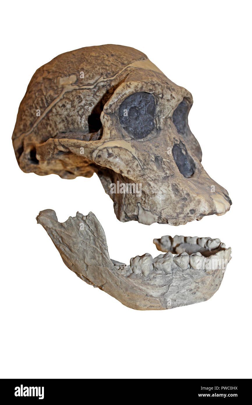 Mrs Ples Australopithecus africanus - Stock Image