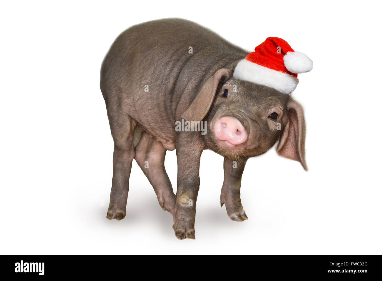 cute newborn piglet pig in santa hat isolated on white background. Christmas and new year card Decorations symbol of the year Chinese calendar. - holi - Stock Image