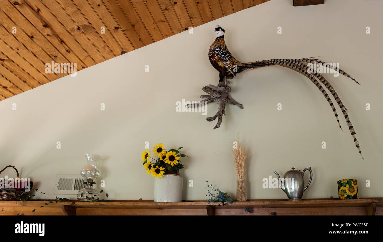Taxidermy Reeves Pheasant, Syrmaticus reevesii, on wall antique décor below  Colorado, USA - Stock Image