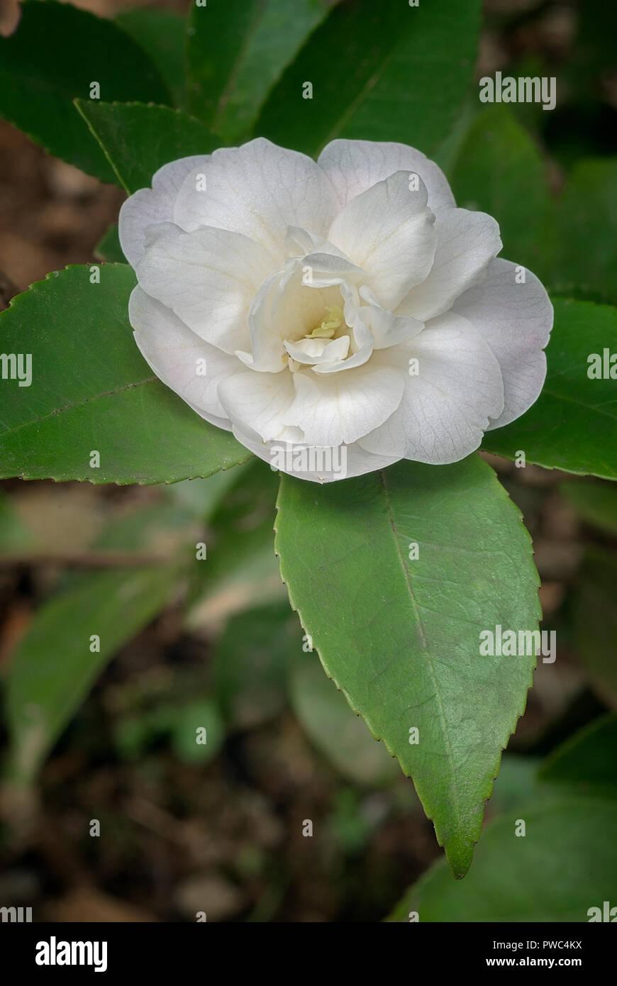 camellia sasanqua stock photos  u0026 camellia sasanqua stock