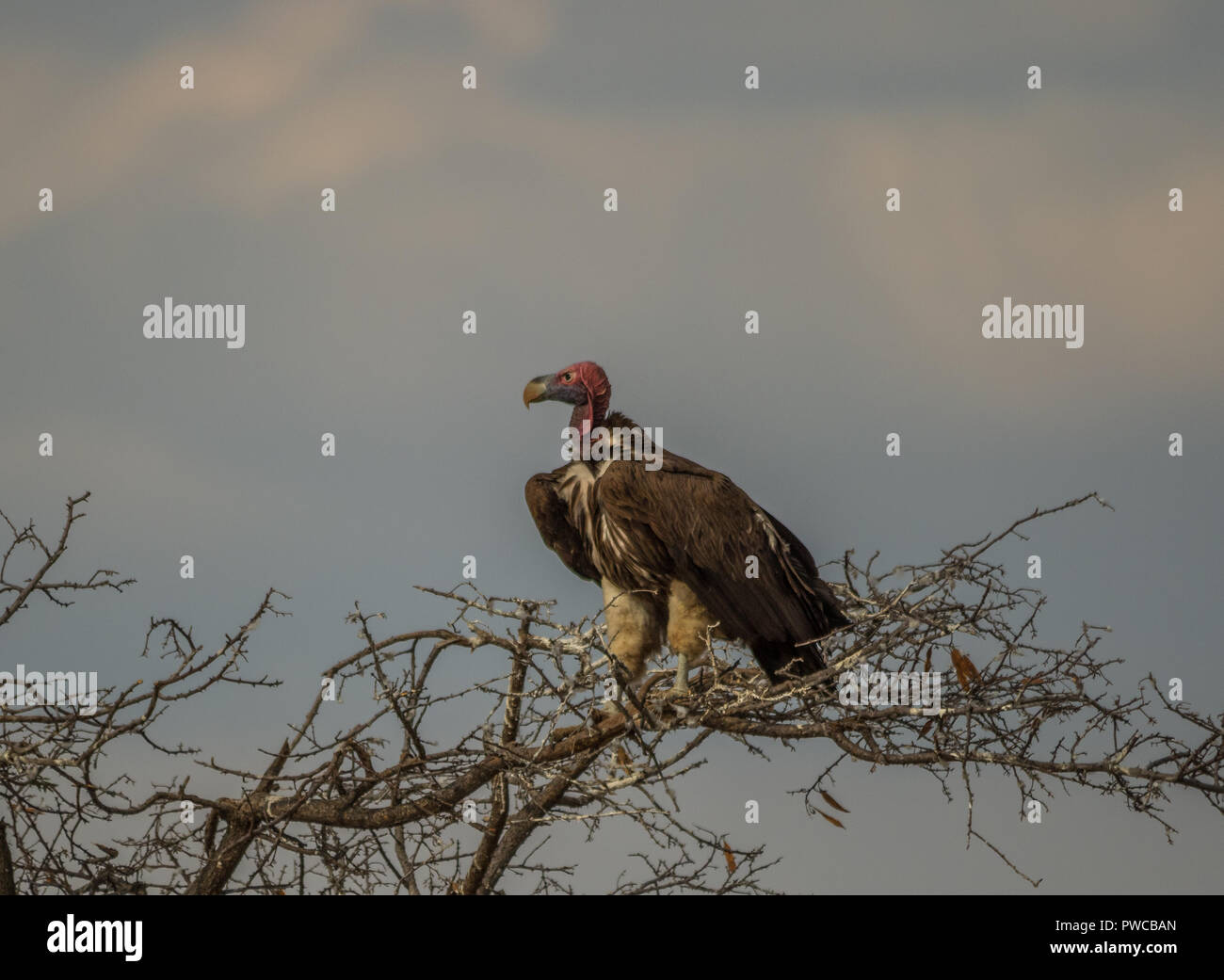 A lapped-faced vulture perches in the canopy of a large dry tree in the African bush image with copy space in landscape format - Stock Image