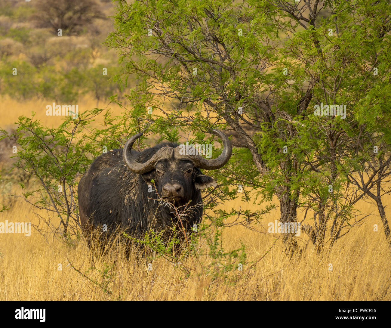 A large Cape buffalo seeks shelter from the sun under a thorn tree on the plains in Africa image with copy space in landscape format - Stock Image