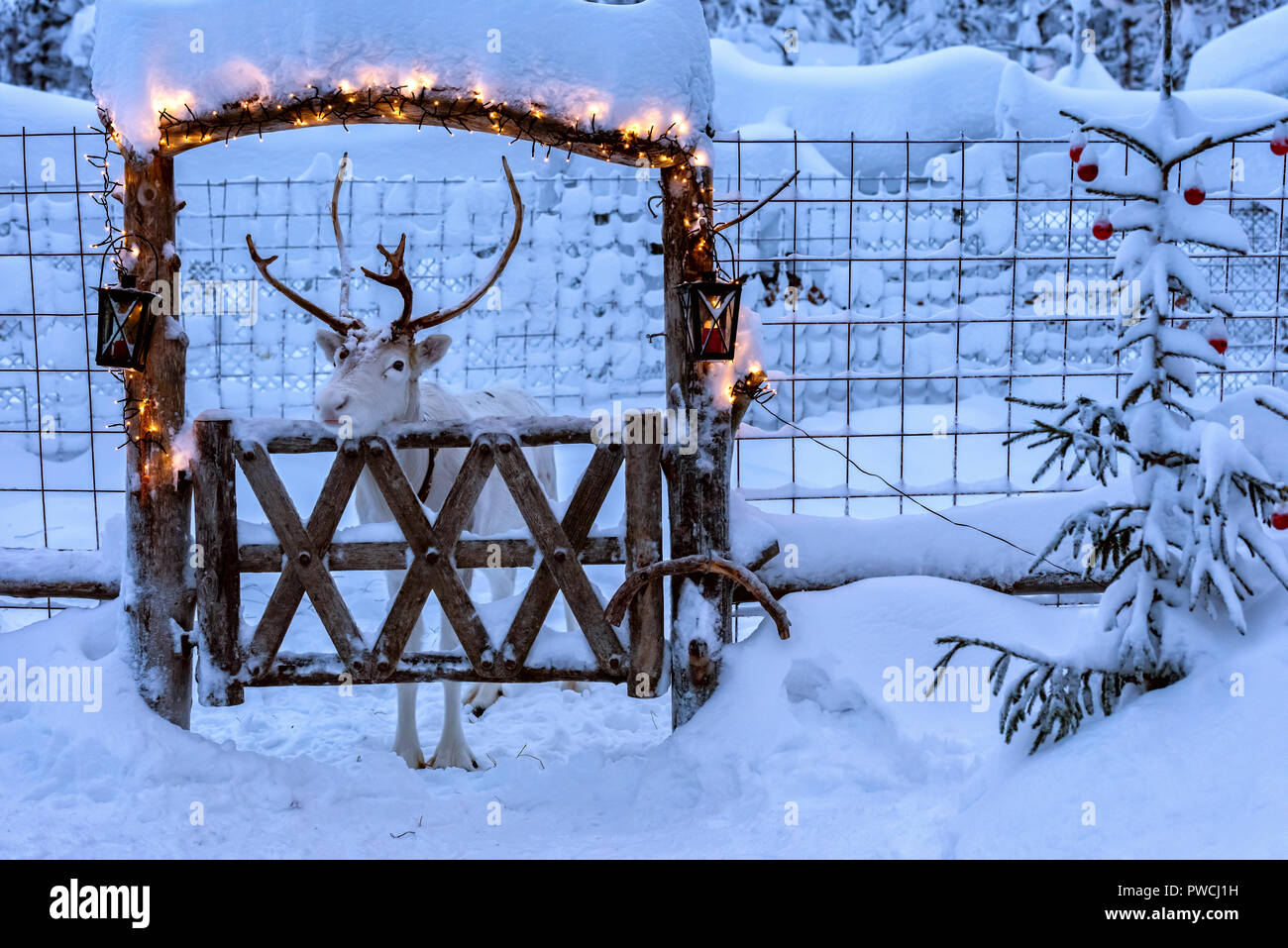 White reindeer with horns in deer enclosure in Lapland, Finland. Deep clean snow covers ground,  enclosure and fir tree near it. Wooden gate decorated - Stock Image