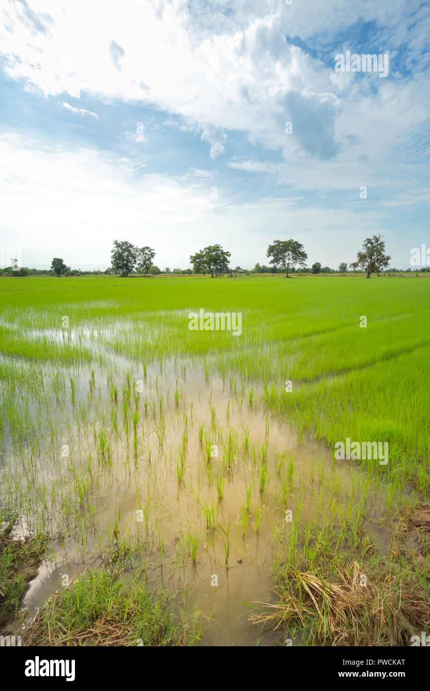 Green rice field in a cloudy day Sukhothai Province, Thailand Stock Photo