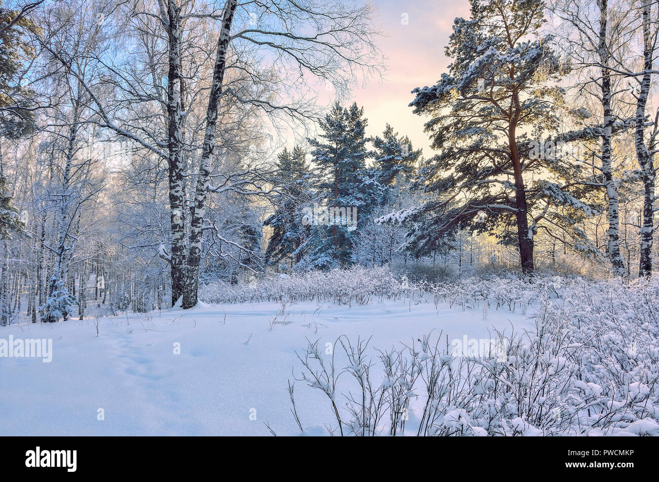 Sunrise in the winter wood. Gentle pink sunlight among white trunks of birch trees, snowy pines and bushes - fairy tale of winter forest - Stock Image