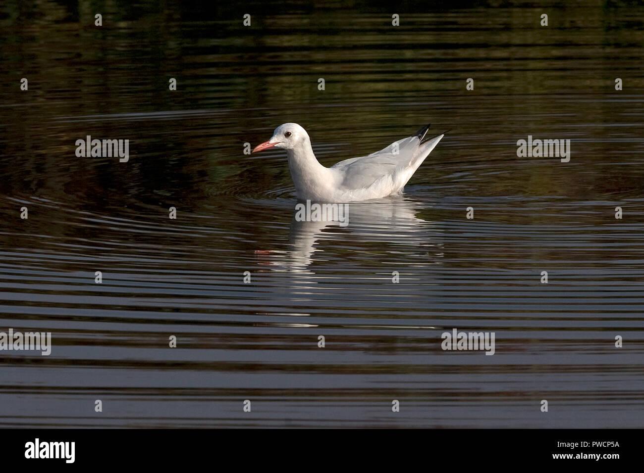 Slender-billed Gull (Larus genei) Stock Photo