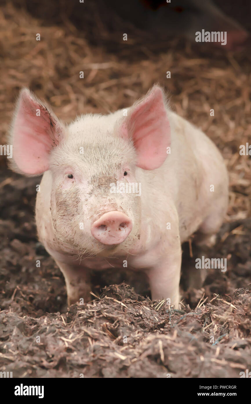single portrait of a lucky little pink pig babe Stock Photo