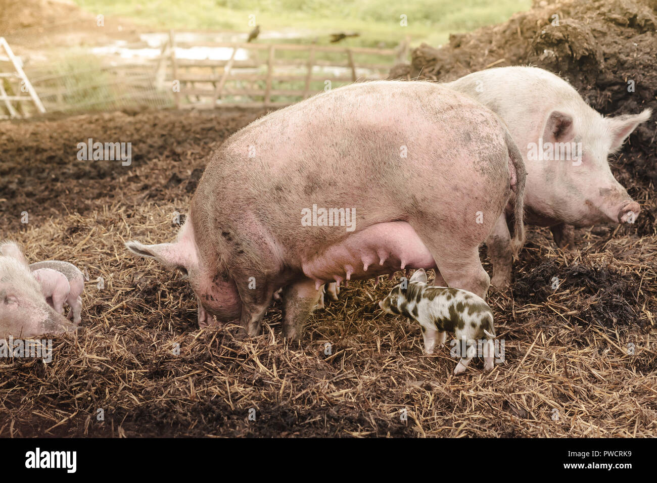 pink parent pigs are suckling a little colorful bentheimer pig at a farm background - Stock Image