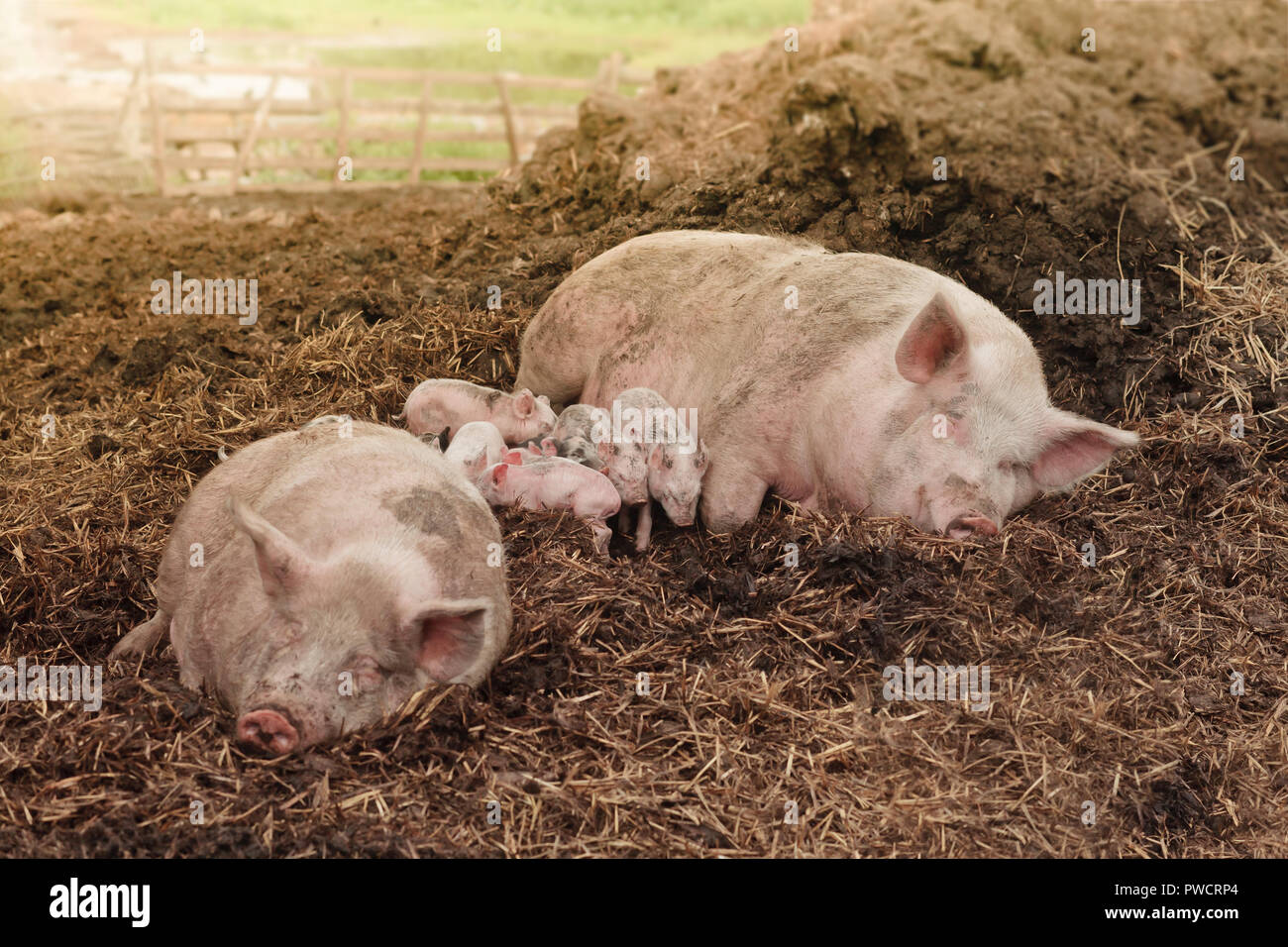 pink parent pigs lying in straw at manure heap with several mixed piglets at a farm background - Stock Image