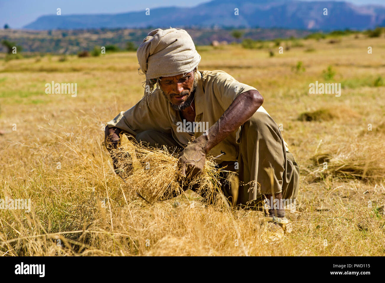 Farmers harvesting Teff (Eragrostis tef) with a sickle, Hawzien, Tigray, Ethiopia - Stock Image