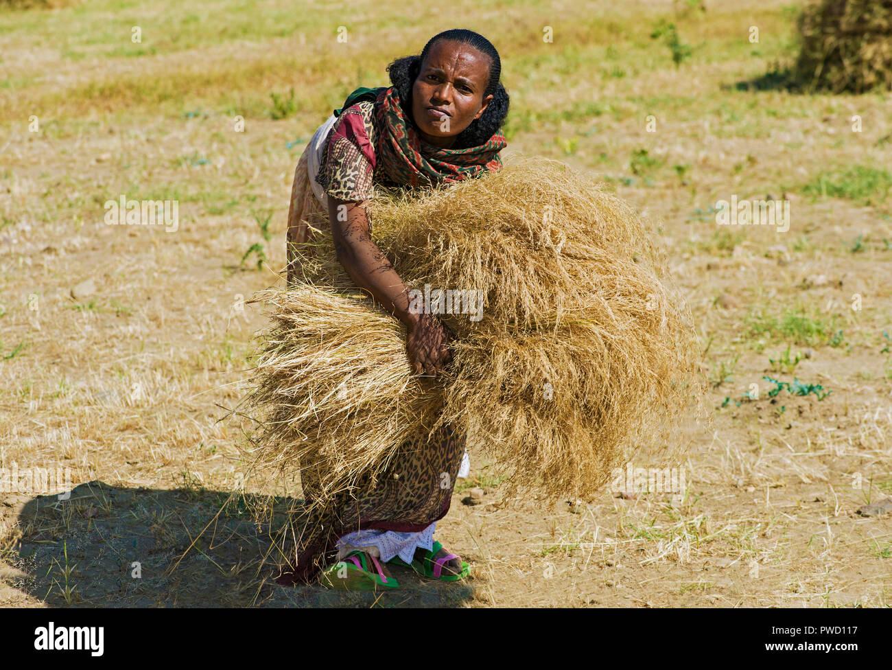 Local farmer woman collecting sheaves of Teff (Eragrostis tef) for threshing, Hawzien, Tigray, Ethiopia - Stock Image