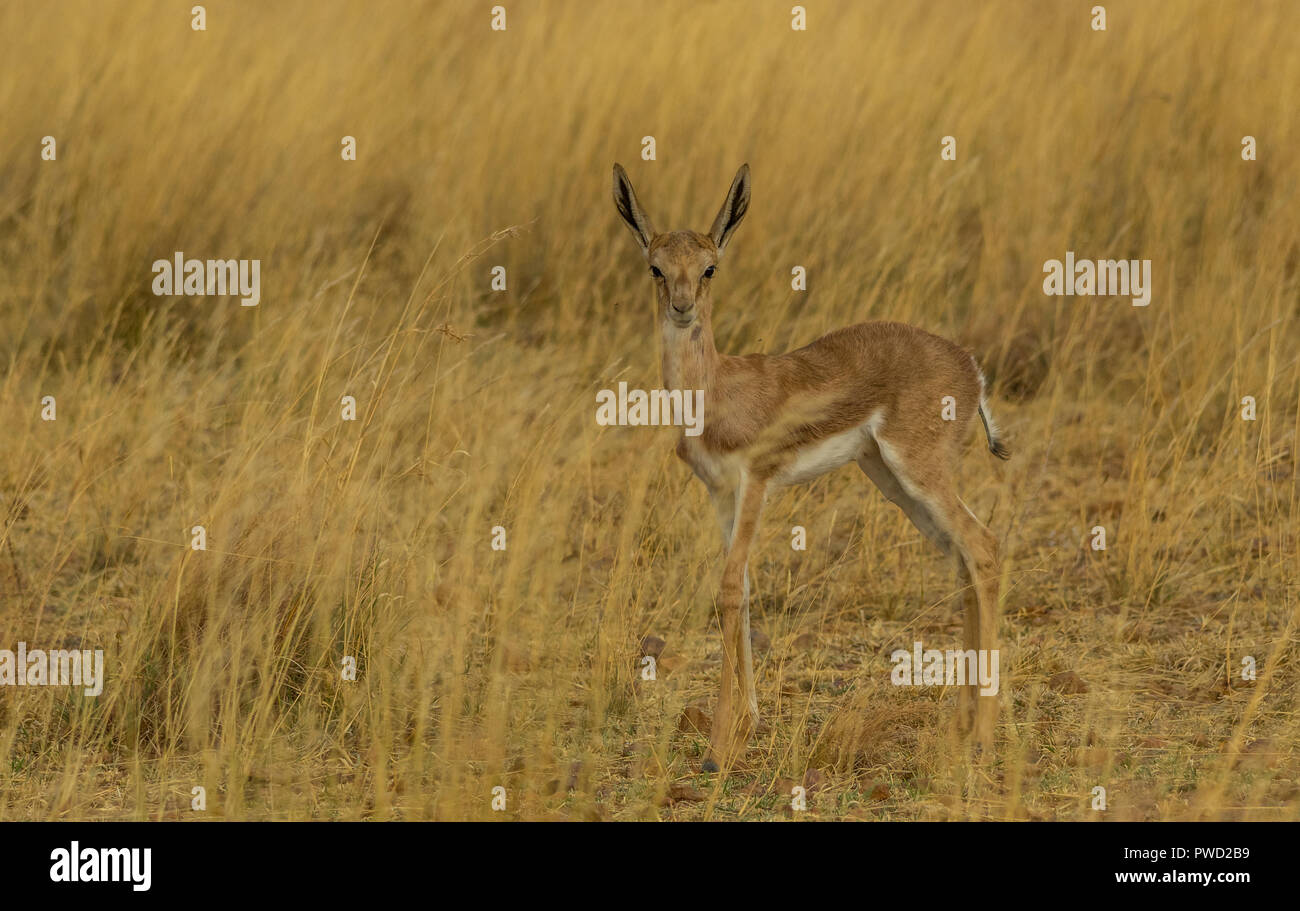 A young springbok calf hides in the grass on the African plains image with copy space in landscape format Stock Photo