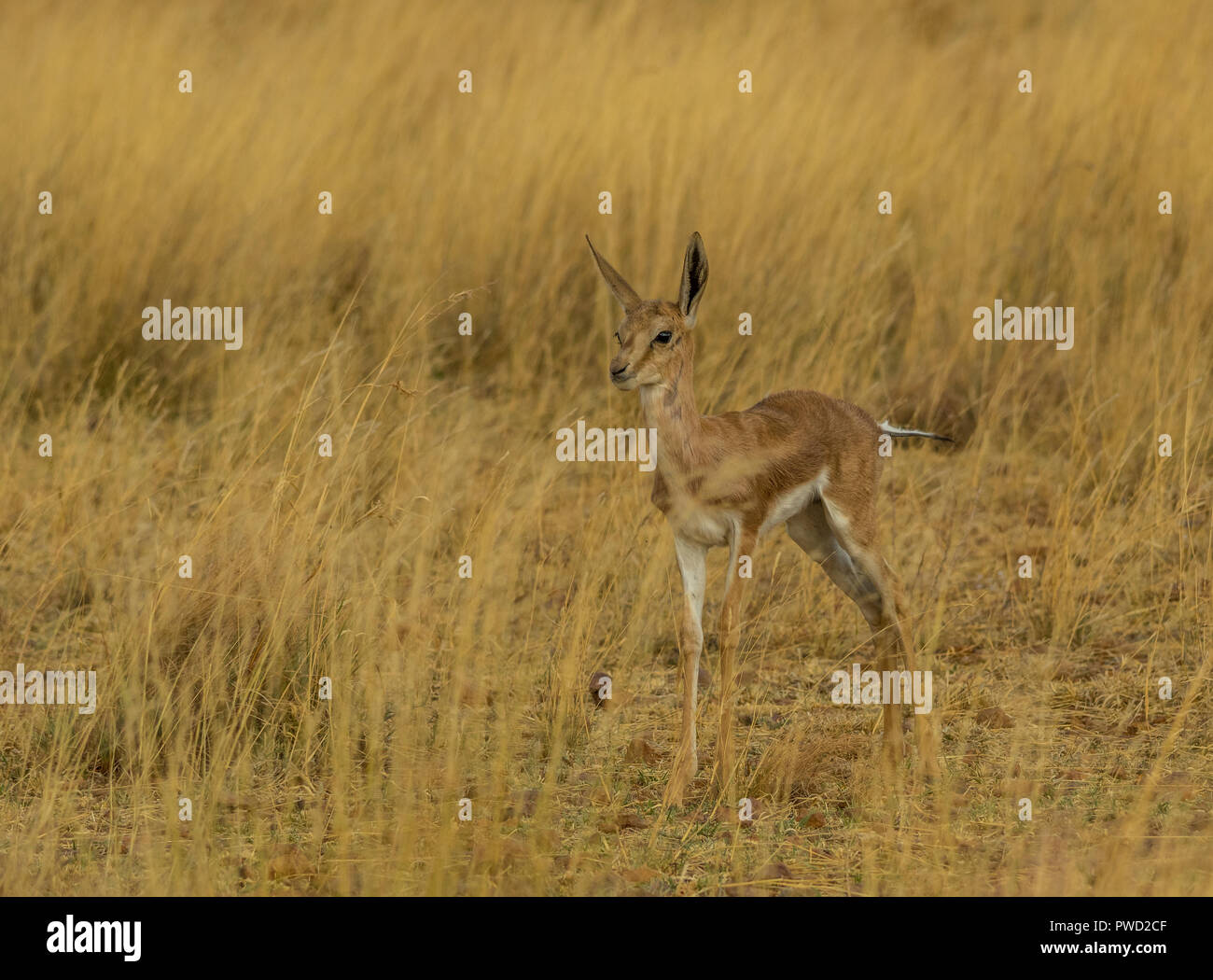 A young springbok calf hides in the grass on the African plains image with copy space in landscape format - Stock Image