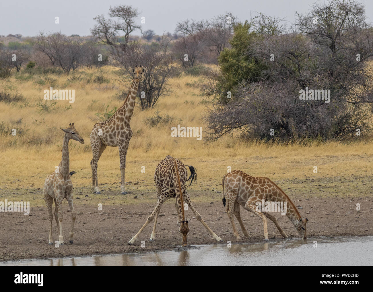 Giraffes drink water at a waterhole in the African wilderness image with copy space in landscape format - Stock Image