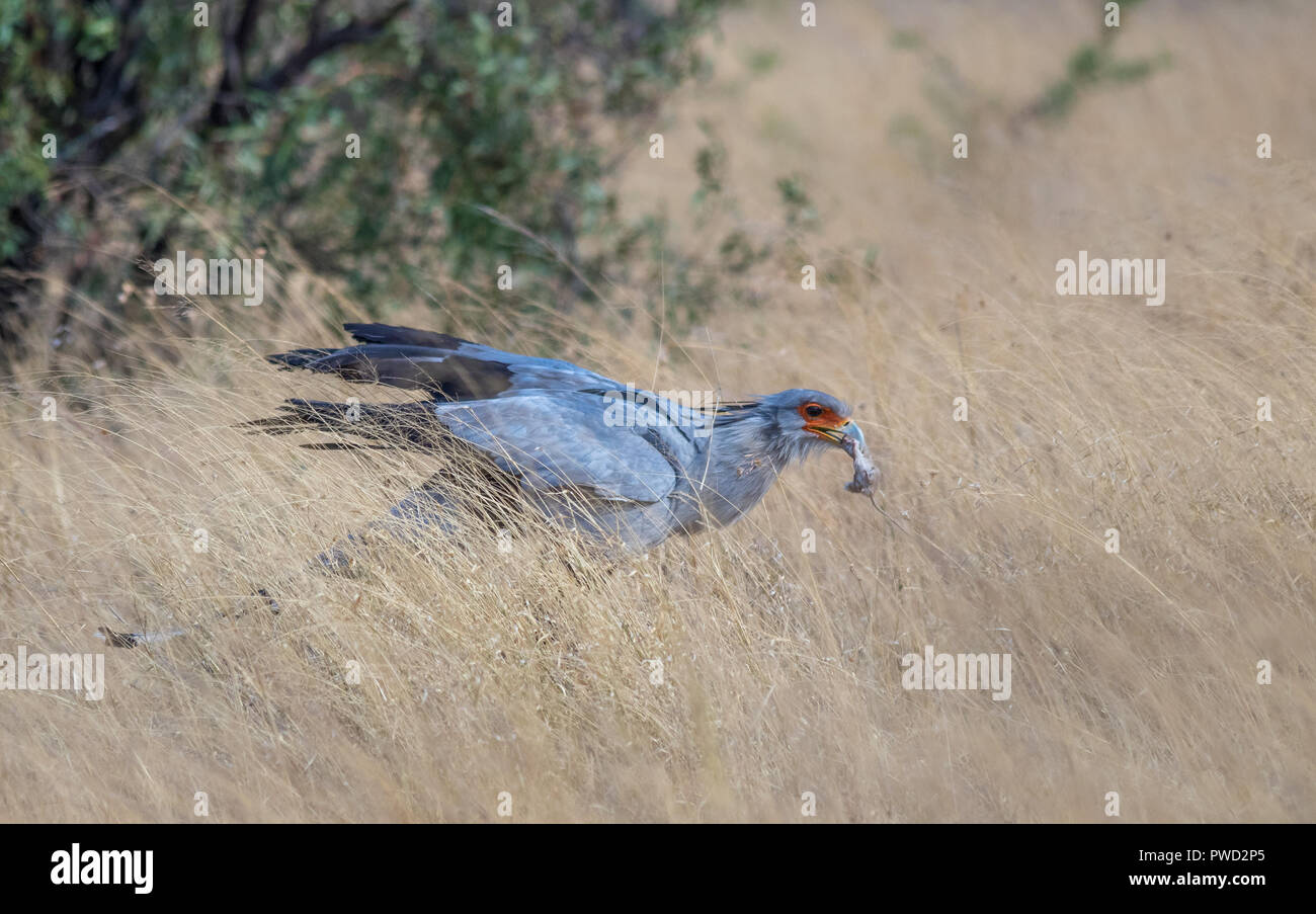 Secretary bird with freshly caught prey in the African bush image with copy space in landscape format - Stock Image