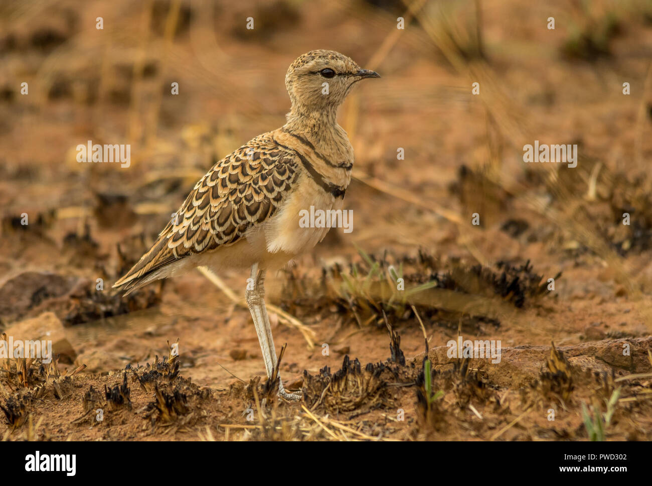 Double-banded courser stands quietly in a burnt patch of grass on the African plains image with copy space in landscape format - Stock Image