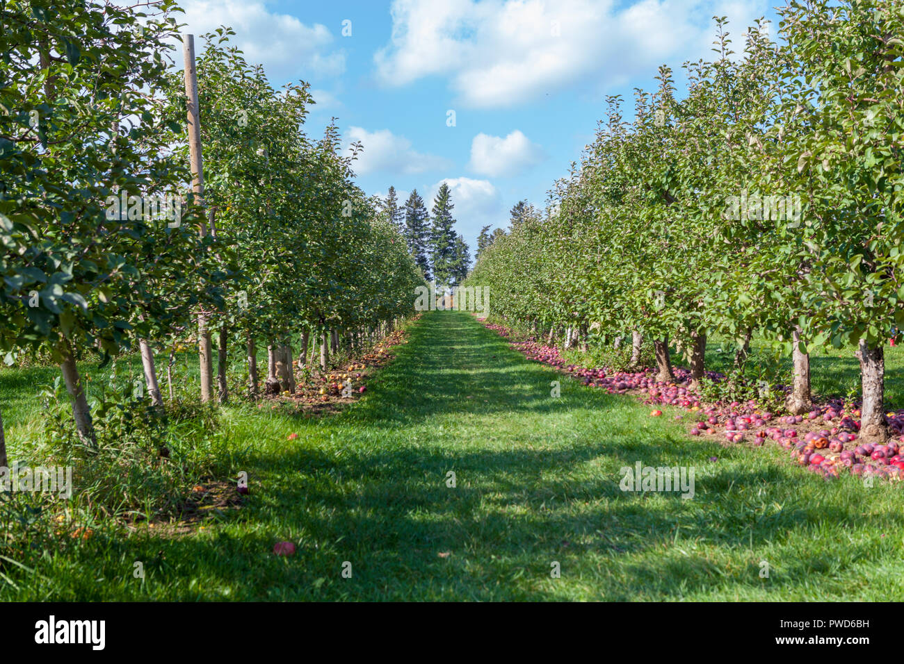 Hamilton, CANADA - October 14, 2018: Ripe  apples on trees in orchard ready for picking at farmer market in autumn Stock Photo