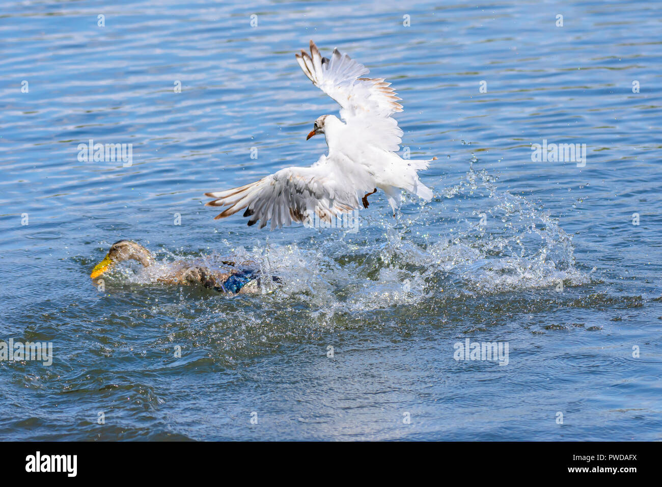 Wildlife photography Uk.Seagull chasing the duck trying to get away with piece of bread in beak thrown by people feeding birds.Waterbirds in action. - Stock Image