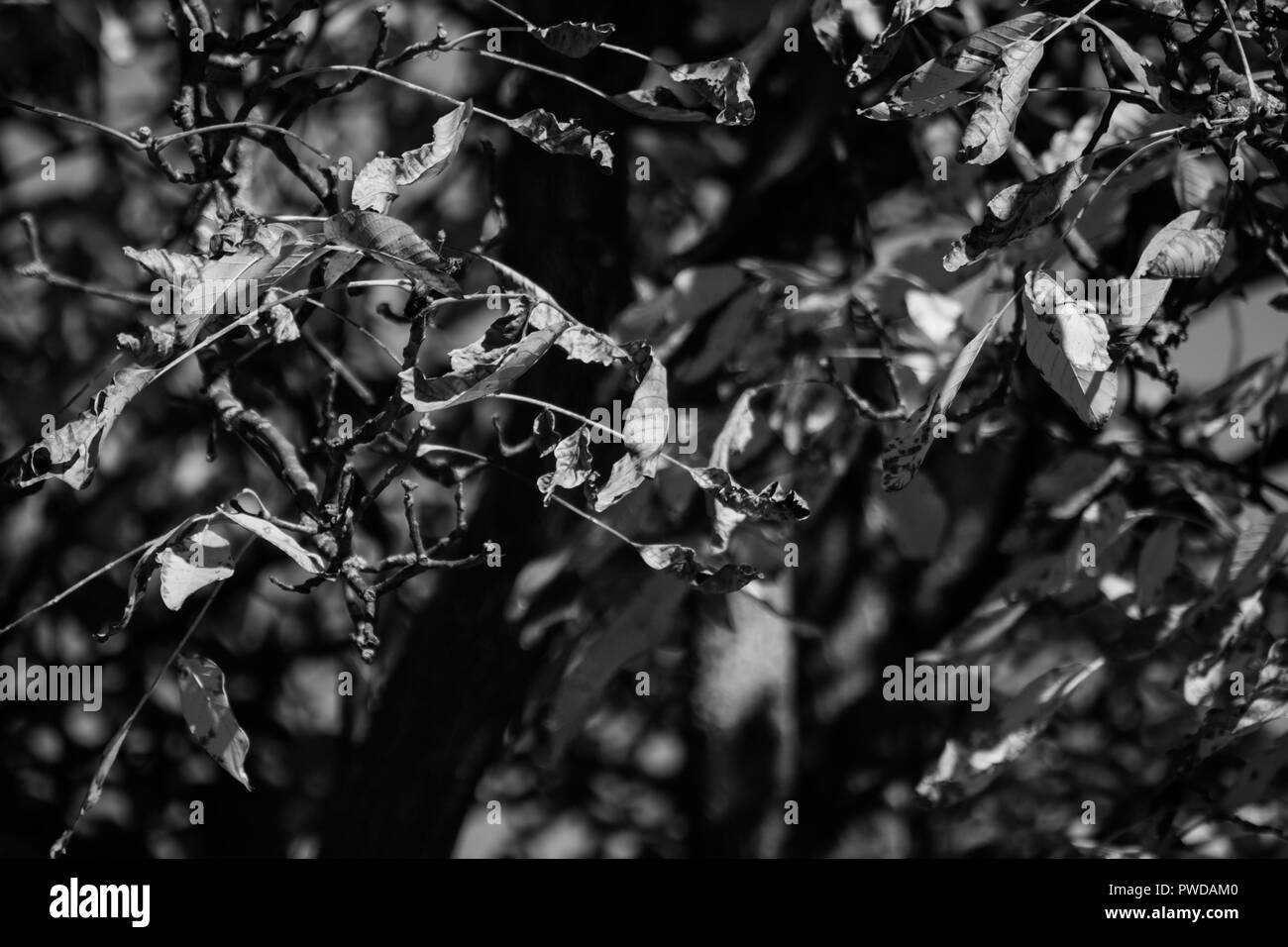 Photo of walnut tree in the middle of autumn. - Stock Image